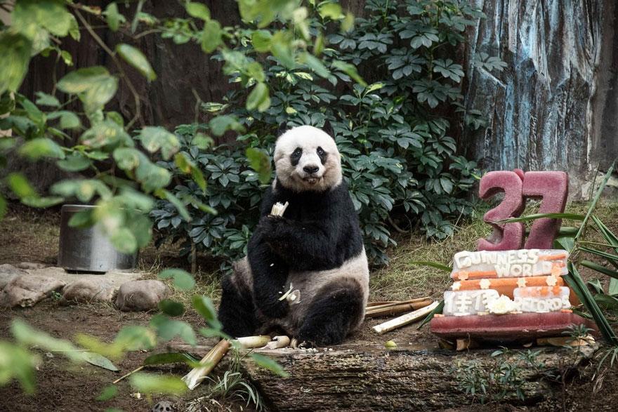 panda-piu-vecchio-mai-esistito-compleanno-37-anni-guinness-2