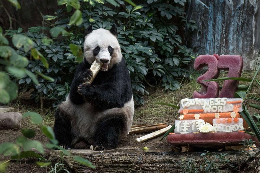 panda-piu-vecchio-mai-esistito-compleanno-37-anni-guinness-3
