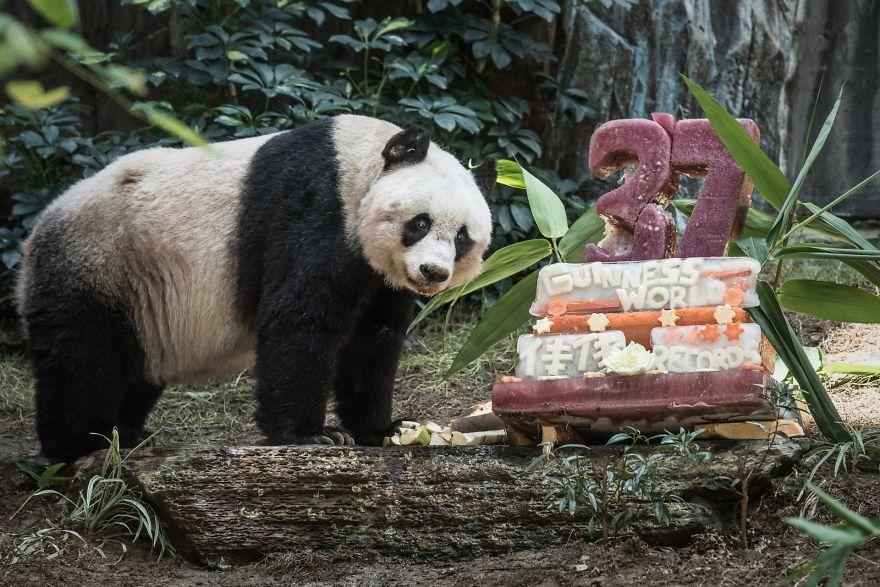 panda-piu-vecchio-mai-esistito-compleanno-37-anni-guinness-4