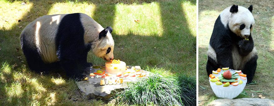 panda-piu-vecchio-mai-esistito-compleanno-37-anni-guinness-5
