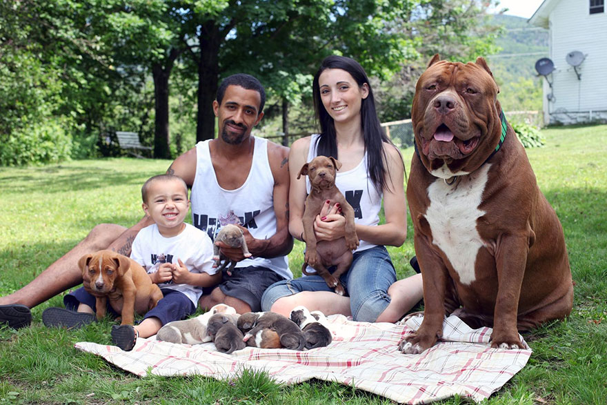 pitbull-più-grande-mondo-diventa-padre-otto-cuccioli-1