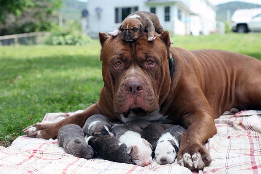 pitbull-più-grande-mondo-diventa-padre-otto-cuccioli-2