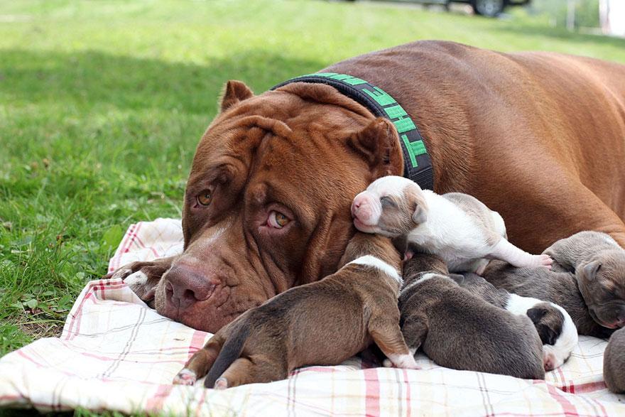 pitbull-più-grande-mondo-diventa-padre-otto-cuccioli-3