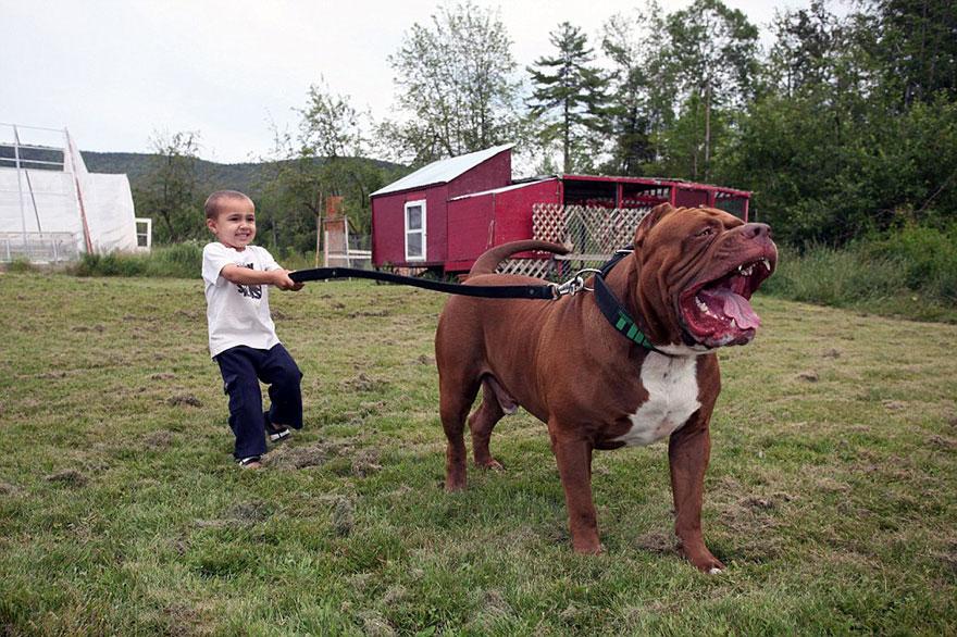 pitbull-più-grande-mondo-diventa-padre-otto-cuccioli-4