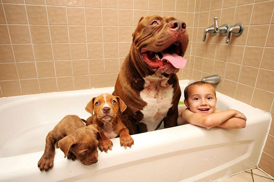 pitbull-più-grande-mondo-diventa-padre-otto-cuccioli-5