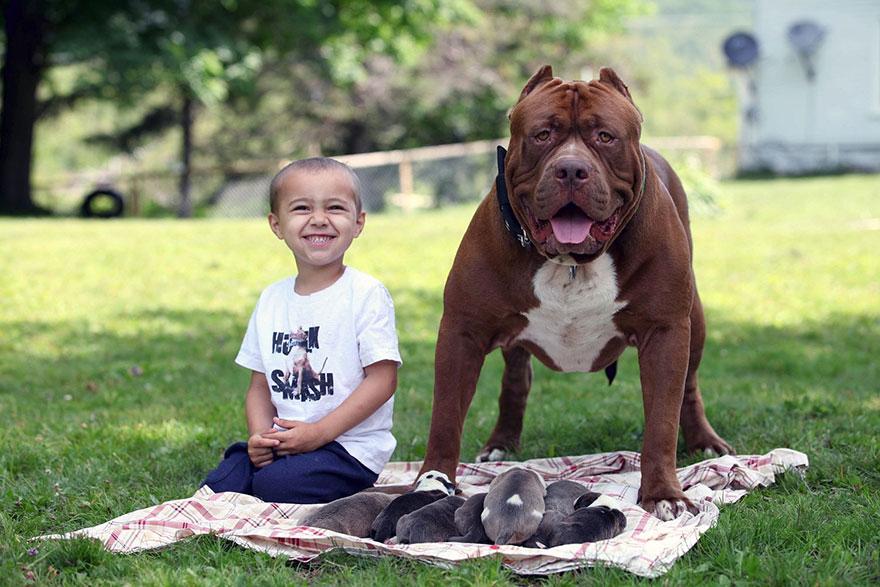 pitbull-più-grande-mondo-diventa-padre-otto-cuccioli-6