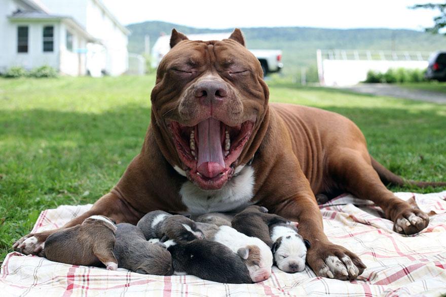 pitbull-più-grande-mondo-diventa-padre-otto-cuccioli-7