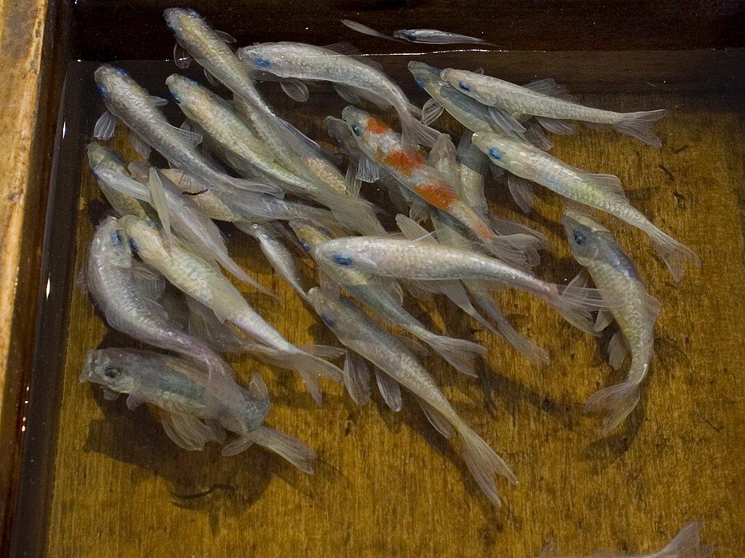 arte-iperrealistica-pittura-scultura-pesci-rossi-resina-riusuke-fukahori-2