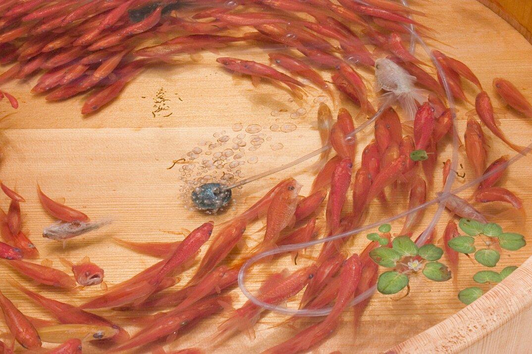 arte-iperrealistica-pittura-scultura-pesci-rossi-resina-riusuke-fukahori-6