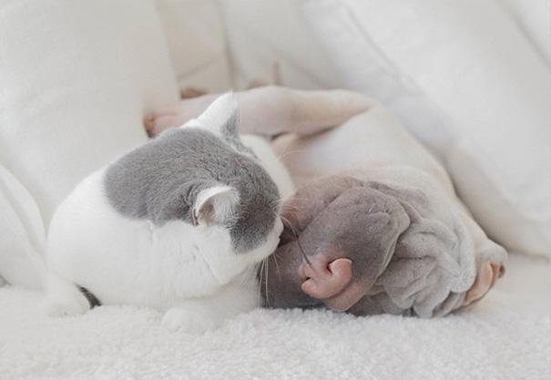 cane-shar-pei-paddington-amicizia-gatto-butler-annie-03