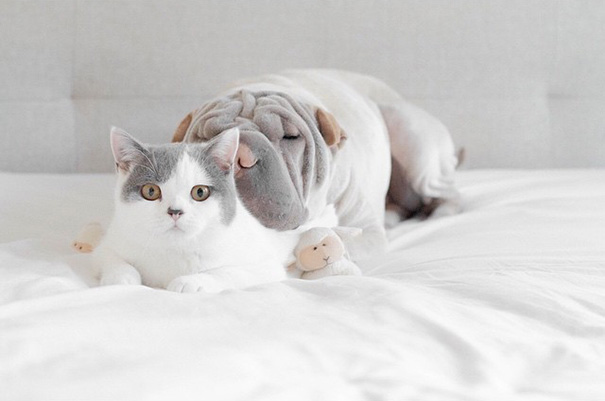 cane-shar-pei-paddington-amicizia-gatto-butler-annie-08