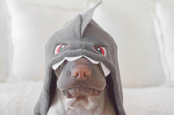 cane-shar-pei-paddington-amicizia-gatto-butler-annie-13