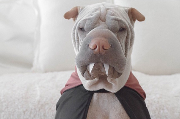 cane-shar-pei-paddington-amicizia-gatto-butler-annie-14