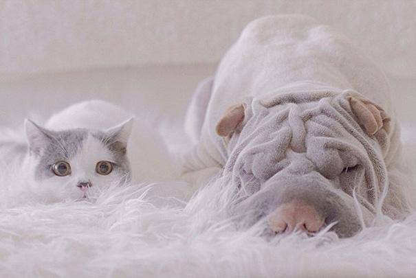 cane-shar-pei-paddington-amicizia-gatto-butler-annie-18