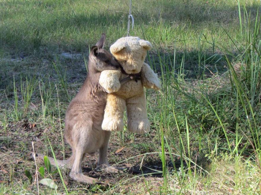 canguro-cucciolo-orfano-gioca-con-orsacchiotto-1