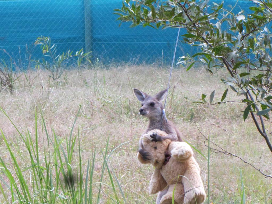 canguro-cucciolo-orfano-gioca-con-orsacchiotto-2