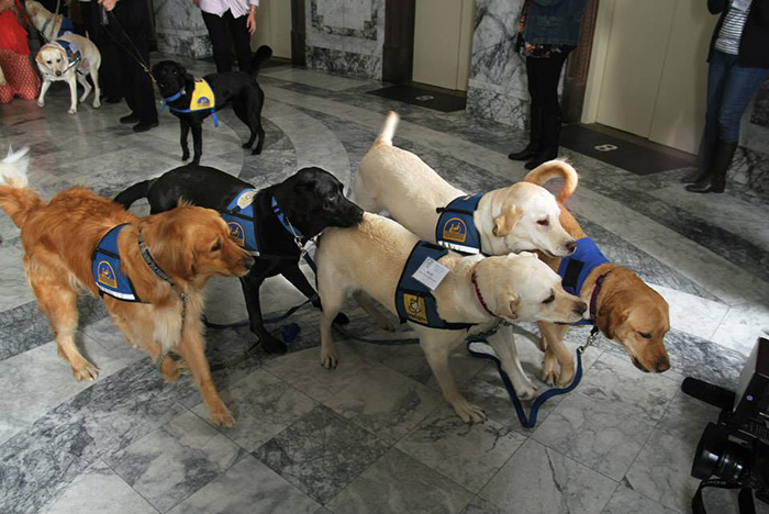 cani-aiutano-testimoni-aule-tribunali-america-courthouse-dogs-06