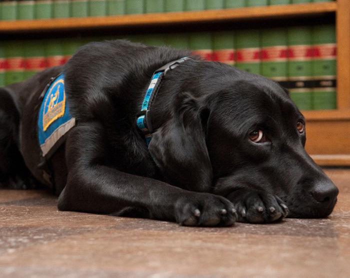 cani-aiutano-testimoni-aule-tribunali-america-courthouse-dogs-09