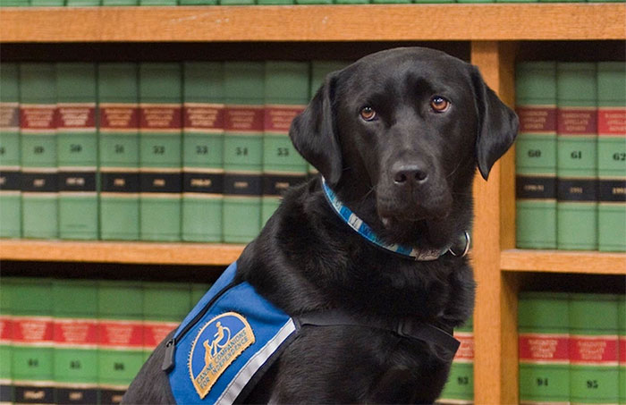 cani-aiutano-testimoni-aule-tribunali-america-courthouse-dogs-11