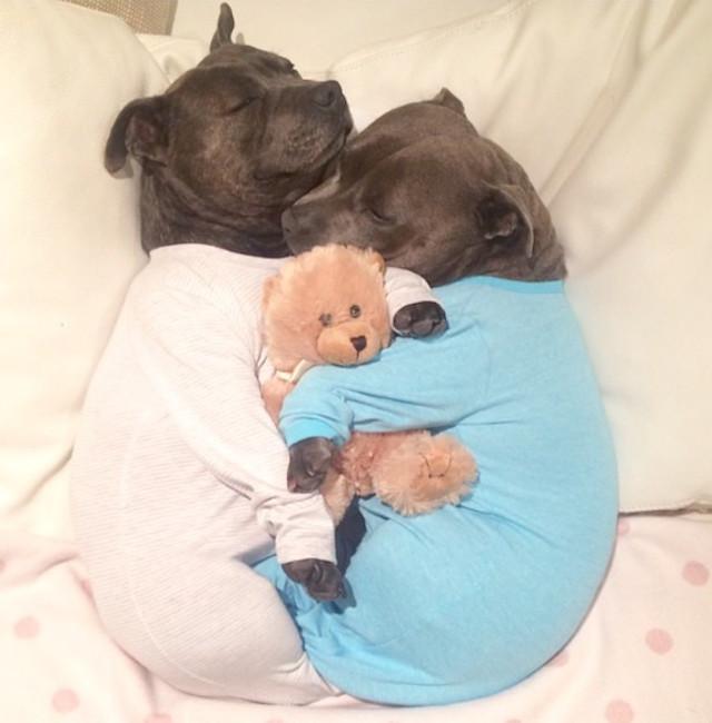 cani-bull-terrier-in-pigiama-vestiti-coccole-1