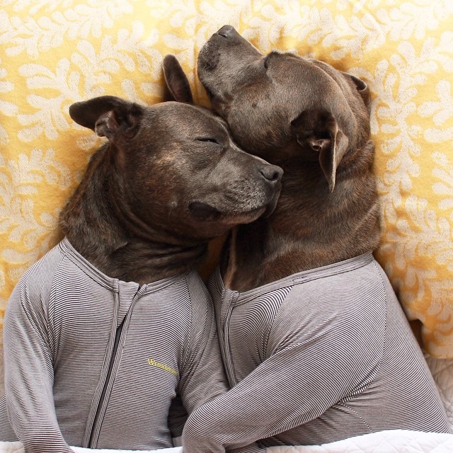 cani-bull-terrier-in-pigiama-vestiti-coccole-2