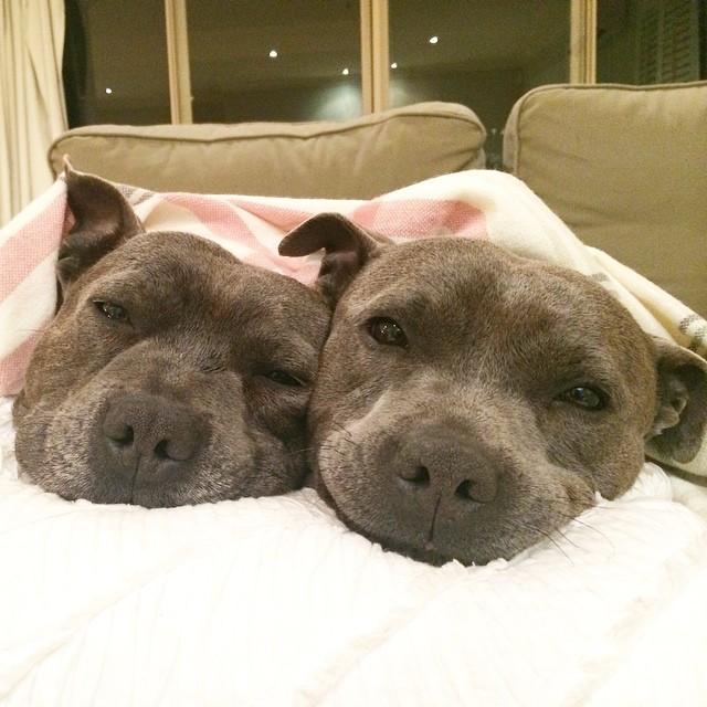 cani-bull-terrier-in-pigiama-vestiti-coccole-3