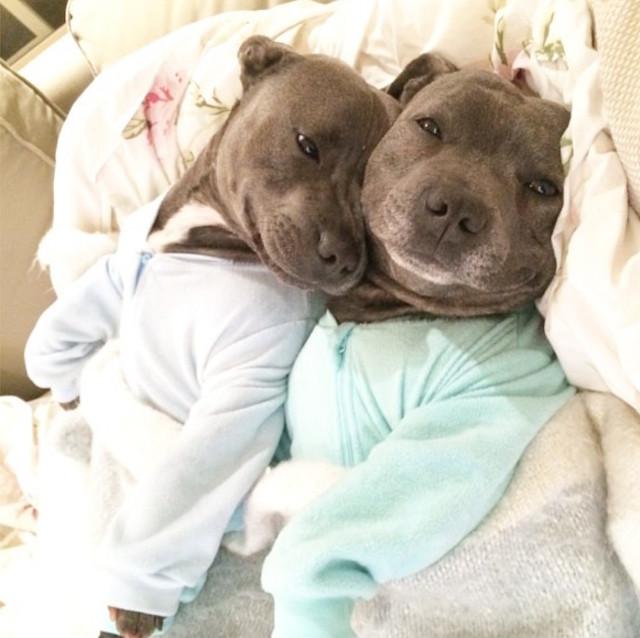 cani-bull-terrier-in-pigiama-vestiti-coccole-4