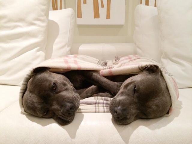 cani-bull-terrier-in-pigiama-vestiti-coccole-5
