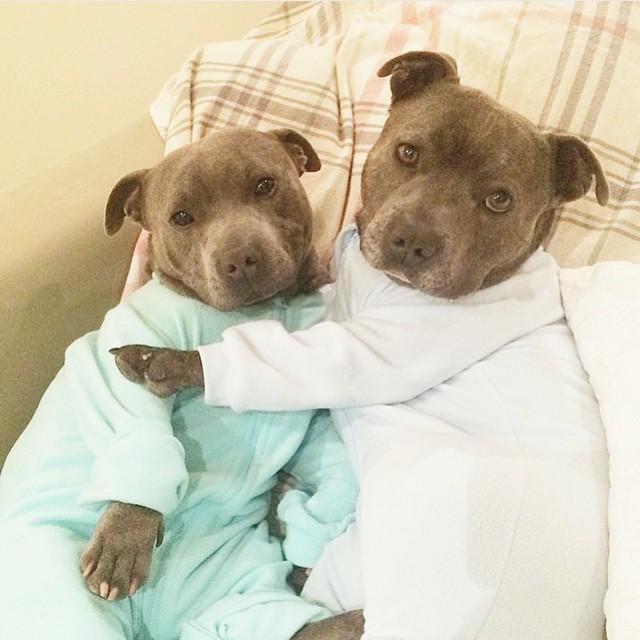 cani-bull-terrier-in-pigiama-vestiti-coccole-6