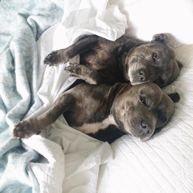 cani-bull-terrier-in-pigiama-vestiti-coccole-7
