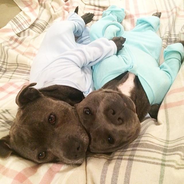 cani-bull-terrier-in-pigiama-vestiti-coccole-8