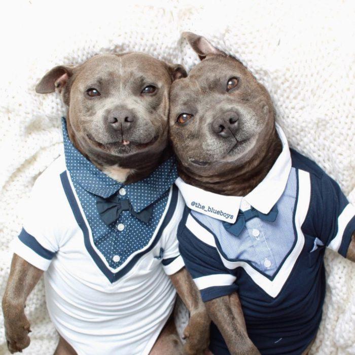 cani-bull-terrier-in-pigiama-vestiti-coccole-95