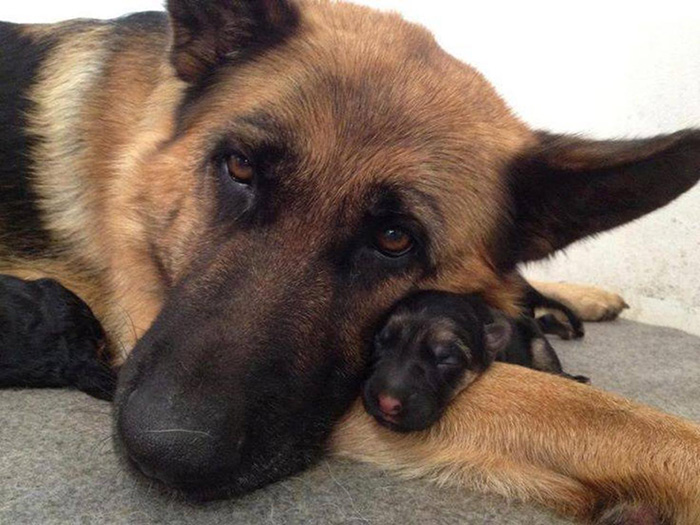 cani-con-cuccioli-10