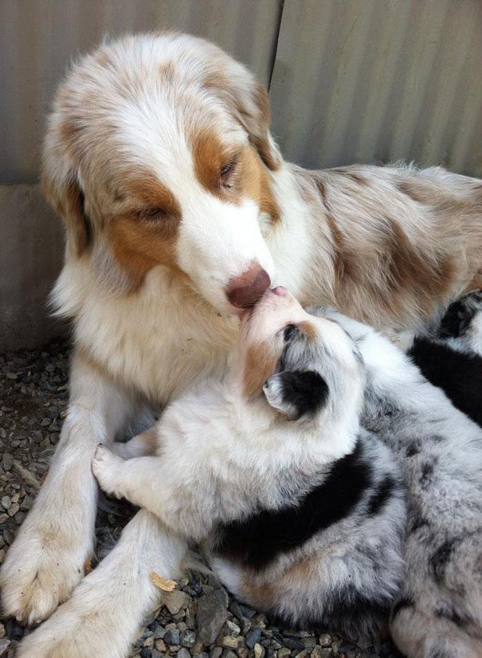 cani-con-cuccioli-20