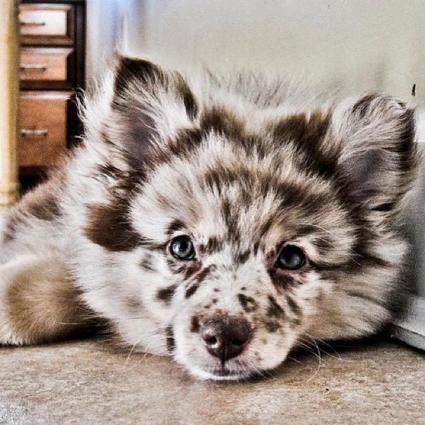 cani-meticci-incroci-razze-canine-13