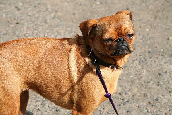 cani-meticci-incroci-razze-canine-23