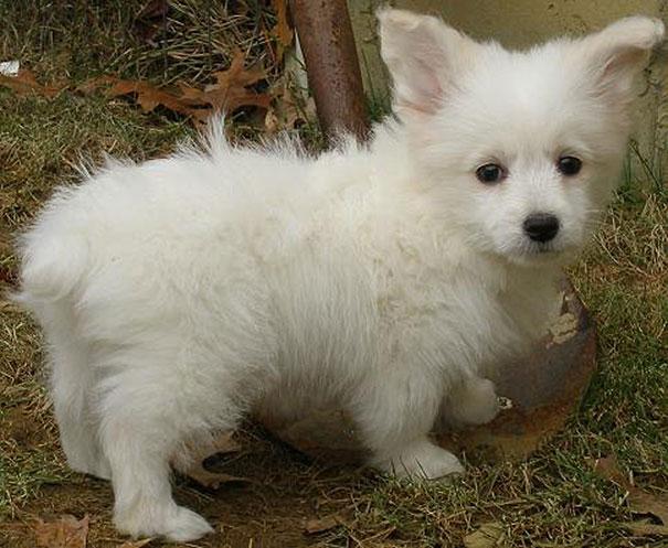 cani-meticci-incroci-razze-canine-32