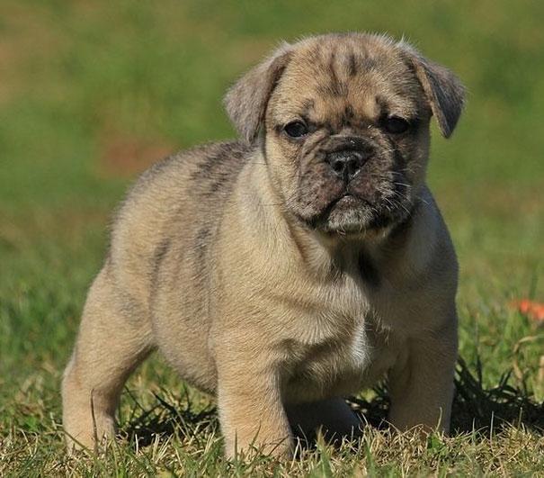 cani-meticci-incroci-razze-canine-33