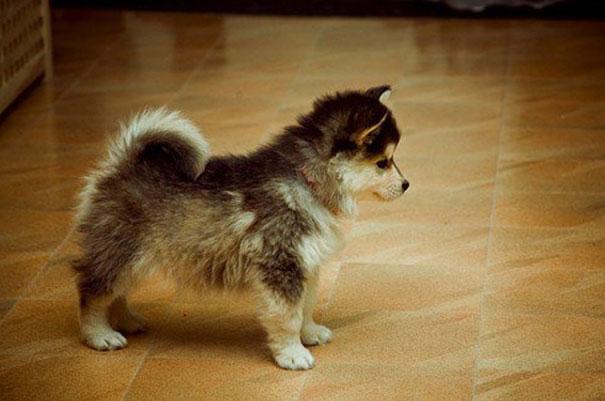 cani-meticci-incroci-razze-canine-37