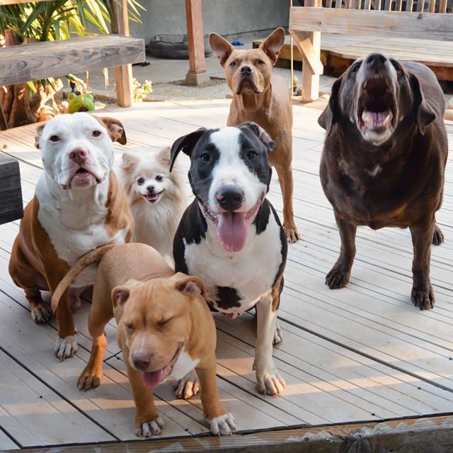 cani-pitbull-adottati-teneri-cuccioli-roofus-and-kilo-01