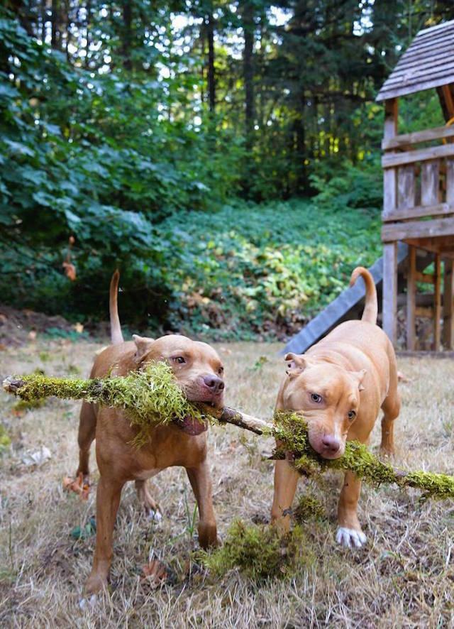 cani-pitbull-adottati-teneri-cuccioli-roofus-and-kilo-03