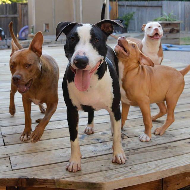 cani-pitbull-adottati-teneri-cuccioli-roofus-and-kilo-06