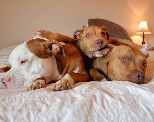 cani-pitbull-adottati-teneri-cuccioli-roofus-and-kilo-07