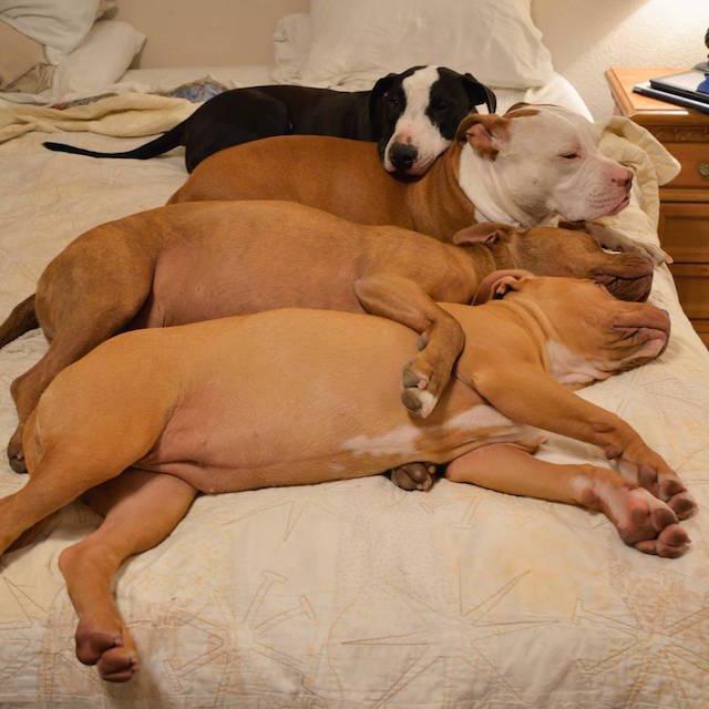 cani-pitbull-adottati-teneri-cuccioli-roofus-and-kilo-10