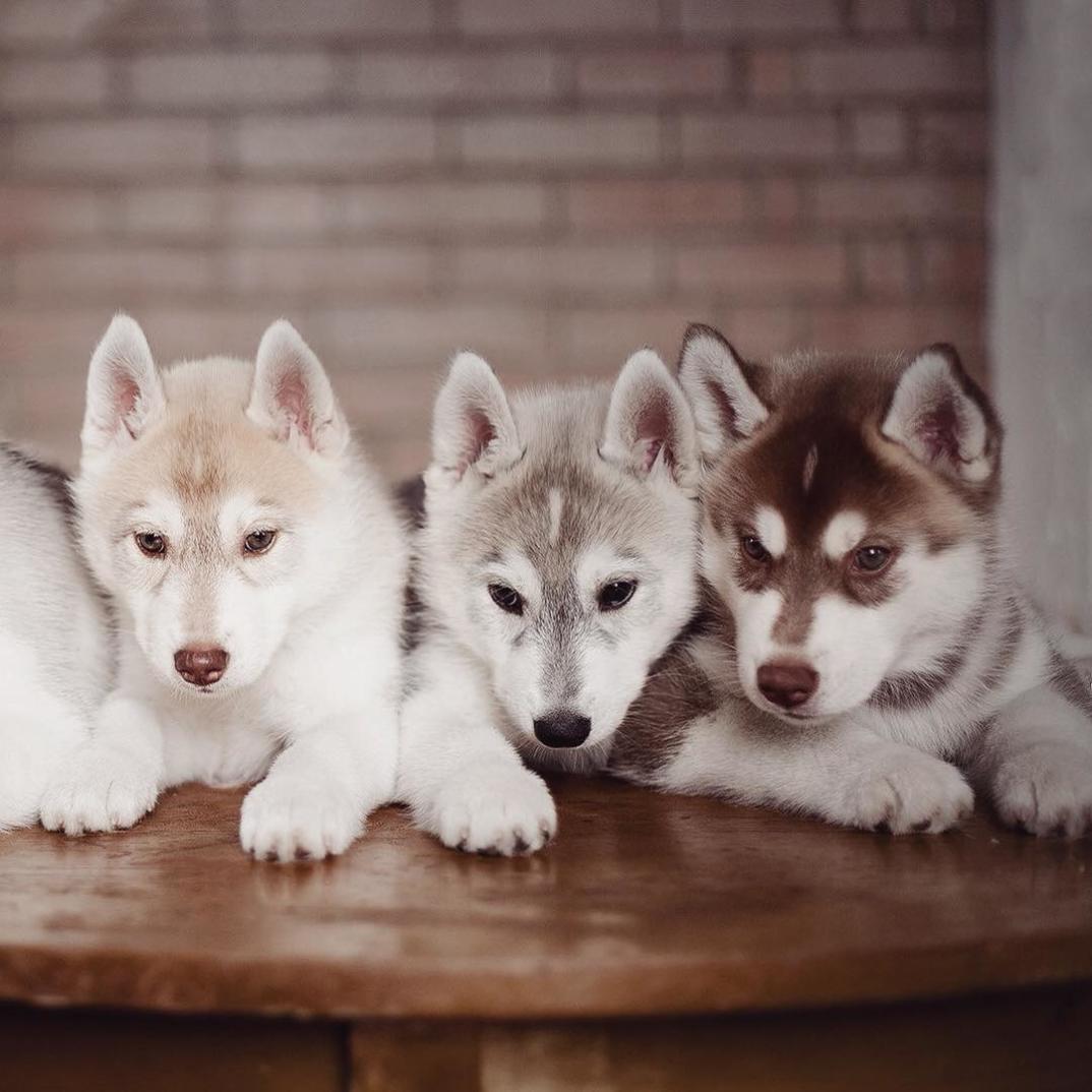 cuccioli-husky-siberiano-cani-instagram-erica-tcogoeva-03