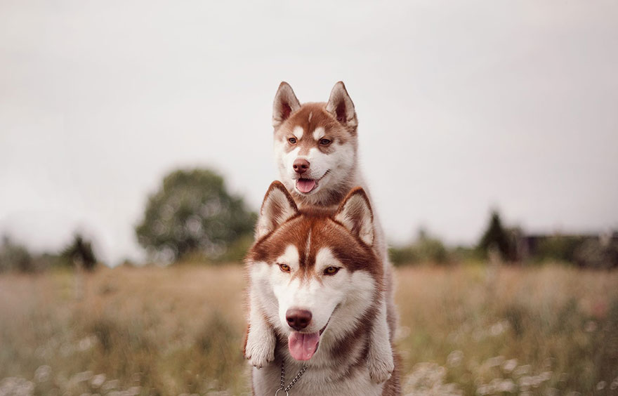 cuccioli-husky-siberiano-cani-instagram-erica-tcogoeva-04