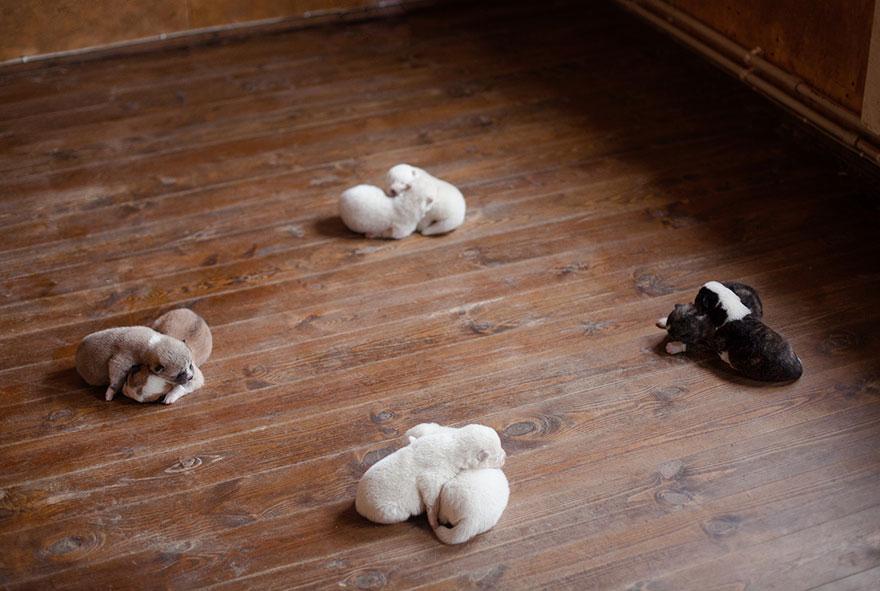 cuccioli-husky-siberiano-cani-instagram-erica-tcogoeva-06