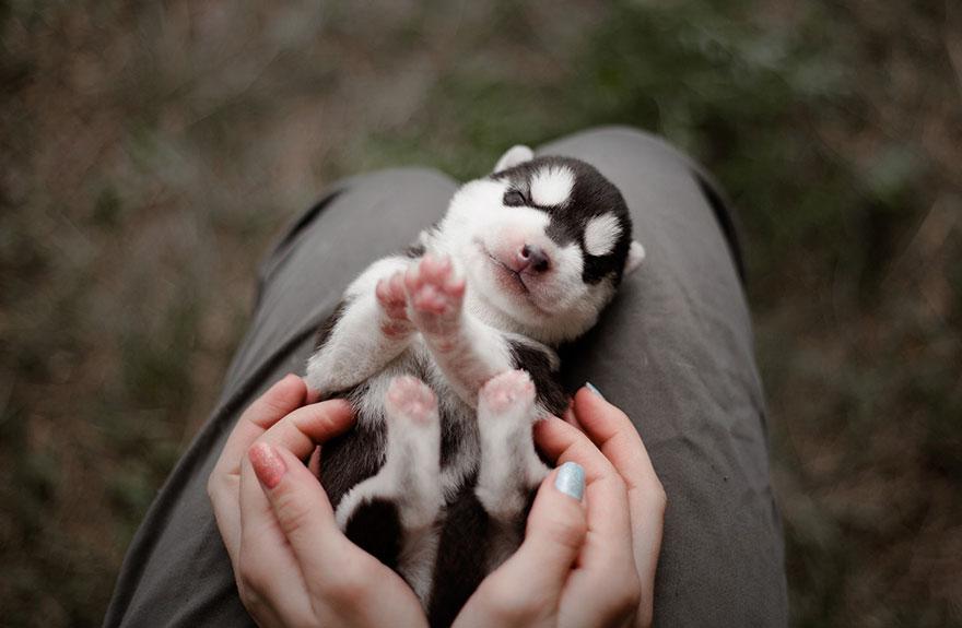 cuccioli-husky-siberiano-cani-instagram-erica-tcogoeva-09