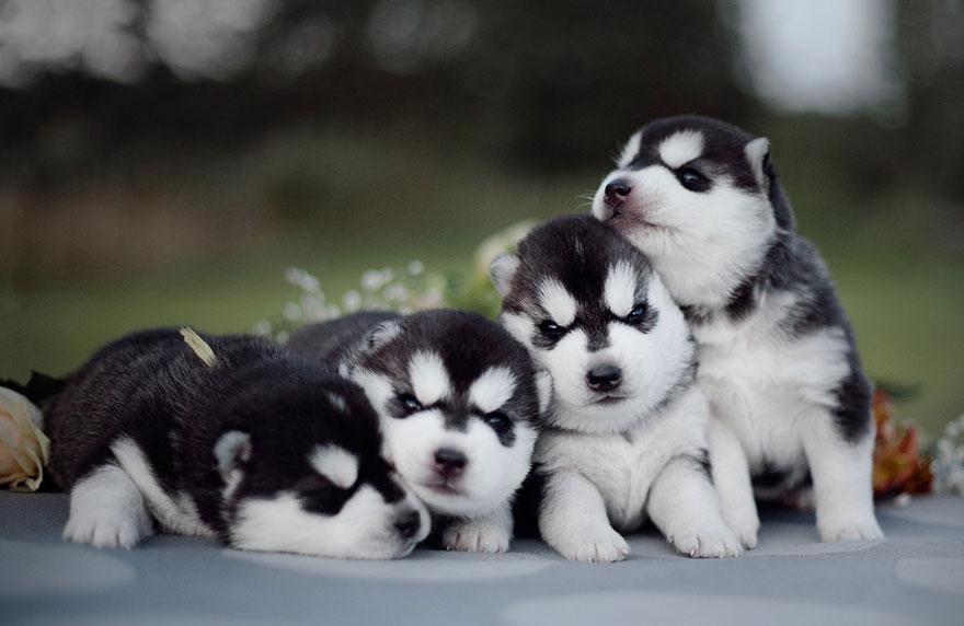 cuccioli-husky-siberiano-cani-instagram-erica-tcogoeva-10