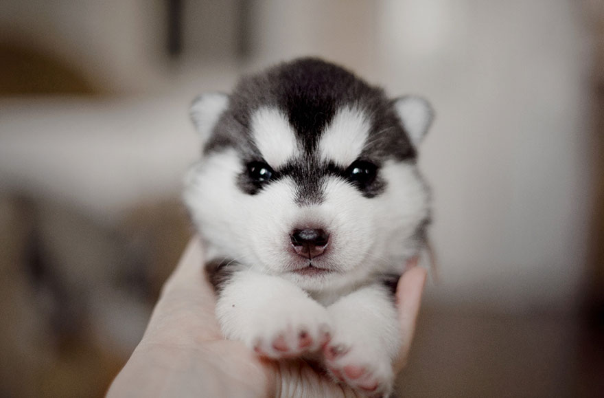 cuccioli-husky-siberiano-cani-instagram-erica-tcogoeva-11